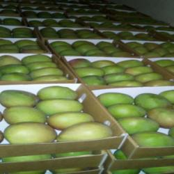 Organic Fresh Mangoes (Kent, Keitt, Apple, Long Mango / Ngowe)