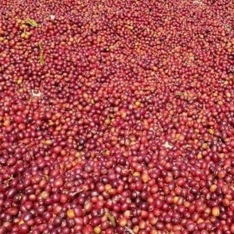 Red Coffee buy wholesale - company Red Coffee Trading PLC | Ethiopia